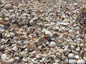 foto of azov  - fogografiya shells made on the coast of the sea of azov - JPG