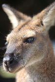 image of wallabies  - Australian wallaby at Blackfellows Beach - JPG