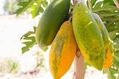 stock photo of papaya fruit  - green and yellow papaya fruit on tree trunk  - JPG