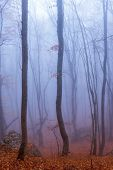 stock photo of crimea  - Fog in autumn beech forest. Crimea Ukraine