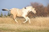 stock photo of paint horse  - Paint horse foal running in freedom alone in autumn - JPG