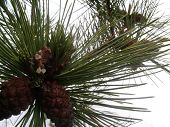stock photo of conifers  - winter twigs of a conifer (spruce or pine) with cones ** Note: Soft Focus at 100%, best at smaller sizes - JPG