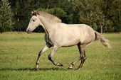 stock photo of galloping horse  - Young gray andalusian spanish horse galloping free and happy - JPG