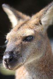 stock photo of wallabies  - Australian wallaby at Blackfellows Beach - JPG