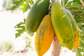 stock photo of papaya fruit  - green and yellow papaya fruit on tree trunk