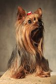 foto of yorkshire terrier  - adorable yorkshire terrier puppy dog sitting on a wooden box in studio and looks up to something - JPG