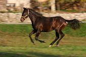 Young Racing Stallion