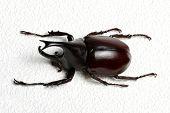 foto of rhino  - Rhinoceros beetle - JPG