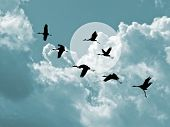 foto of shadoof  - silhouette flying cranes on cloudy background - JPG