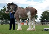 Clydesdale With Collar & Long Reins