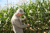 Agronomist analyzing corn field