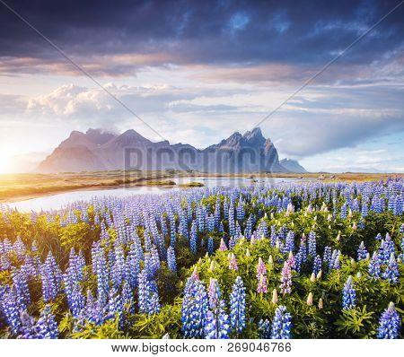 Splendid view of perfect lupine