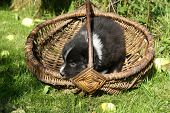 Australian Shepherd Puppy In A Basket