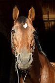Amazing bay stallion portrait