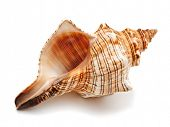pic of echinoderms  - sea shell isolated on white - JPG