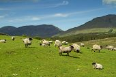 Sheep and rams in Connemara mountains