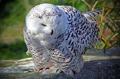picture of hedwig  - Snowy owl on the rock - JPG