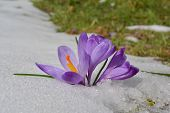 Wild Spring Saffron Flowers Growing In Melting Snow And Green Meadow In Background, Early Spring Sun poster