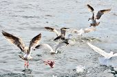 Seagulls fighting for fish entrails