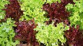 Green Oak Red Oak Background / Salad Leaf Lettuce Salad Plant Hydroponic Vegetable Green And Red Oak poster