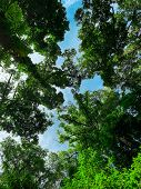 Bottom View Of Green Tree In Tropical Forest With Bright Blue Sky And White Cloud. Bottom View Backg poster