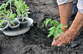Planting A Tomato Seedling