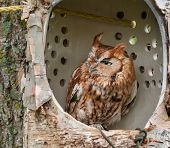 stock photo of screech-owl  - Eastern Screech Owl  - JPG