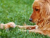 stock photo of orange kitten  - orange golden retriever dog and baby cat outdoor on green grass