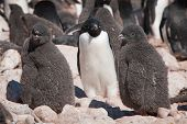 Young Adelie Penguins And Their Mother