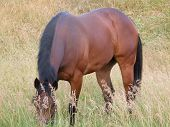 Thoroughbred Grazing