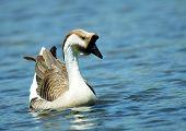 Chinese goose