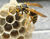 image of wasp sting  - Common wasp on a small nest built on a metal surface - JPG