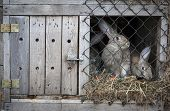 pic of rabbit hutch  - Rabbits bred for meat in a wooden hutch - JPG