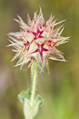 Trefoil  (trifolium Stellatum)