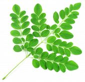 image of moringa oleifera  - Close up of edible moringa leaves over white background - JPG