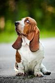image of basset hound  - Dog Basset hound sitting and looks up  - JPG