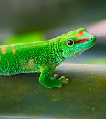 picture of zurich  - Green gecko on the tree  - JPG