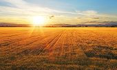 stock photo of farm land  - Sunset over the golden wheat field with sun - JPG