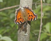 pic of gadfly  - Butterfly the small tortoiseshell and a gadfly drink wood juice - JPG