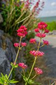 Centranthus ruber in Ierland