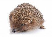 Serious Adult Hedgehog