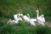 Pelicans In Zoo White Pelikan On Green