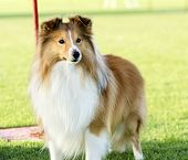image of sheltie  - A young beautiful white and sable Shetland Sheepdog standing on the lawn looking happy and playful - JPG