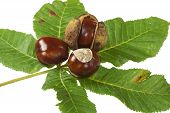 image of chestnut horse  - Some Horse chestnuts on green chestnut leaves on white background - JPG