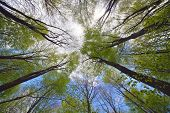 Looking high into the tree canopy of a beech forest during springtime on a bright sunny day with blu