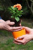 Putting Dahlia Into Flowerpot