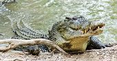picture of water animal  - Close up of saltwater crocodile as emerges from water with a toothy grin - JPG