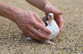 foto of pigeon loft  - Pigeon Nestling Bird white on sand and Man Hands holding Birds Enter to the new world of baby dove - JPG