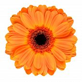Orange Gerbera-Blume, Isolated On White
