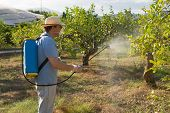 image of pesticide  - Lemon plantation being sprayed with pesticide by worker
